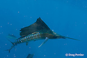 Atlantic sailfish, Istiophorus albicans, with algae-covered spaghetti tag, swims among scales of slaughtered sardines, off Yucatan Peninsula, Mexico ( Caribbean Sea )