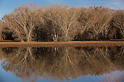 Muted colors of cottonwood reflected in a lake during winter at the Bosque del Apache National Wildlife Refuge in San Antonio, New Mexico. The refuge restored the original Rio Grande bottomlands habitat with native species.