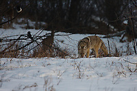 I had seen this coyote earlier while it was wandering in the middle of the frozen lake at Carburn Park.  There were people walking all around the park and it really did nothing to avoid them.  I eventually found it again a little further back in the woods.  There were also dozens of deer wandering in the woods and they were very skittish while the coyote was near.  They are very used to people and completely ignored me...©2009, Sean Phillips.http://www.Sean-Phillips.com