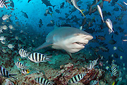 Bull Shark, Carcharhinus leucas, gather during a shark dive at Shark Reef Marine Reserve offshore Pacific Harbor, Viti Levu, Fiji.