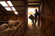 Bringing in hay to lambing sheep, Lava Lake Ranch, Idaho