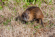 Coypu, or nutria (Myocastor coypus) Israel, Hula Valley