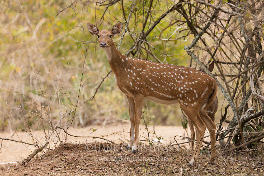 A chital emerges from a thicket, , Mudumalai National Park, India.