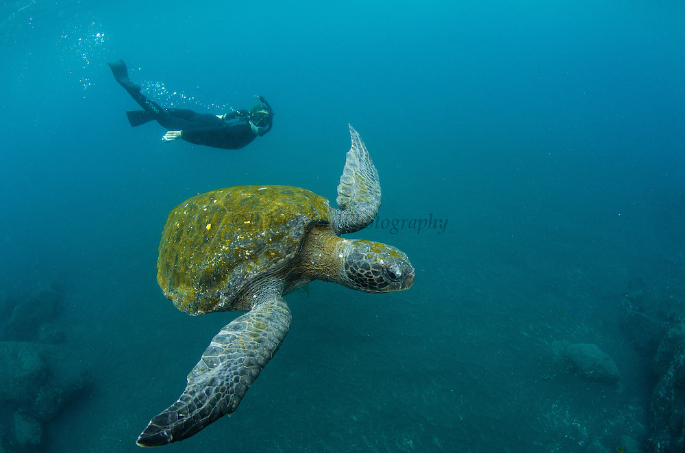Galapagos Green Sea Turtle (Chelonia mydas agassizi) & Tourist<br /> GALAPAGOS ISLANDS,<br /> Ecuador, South America<br /> Endemic Subspecies