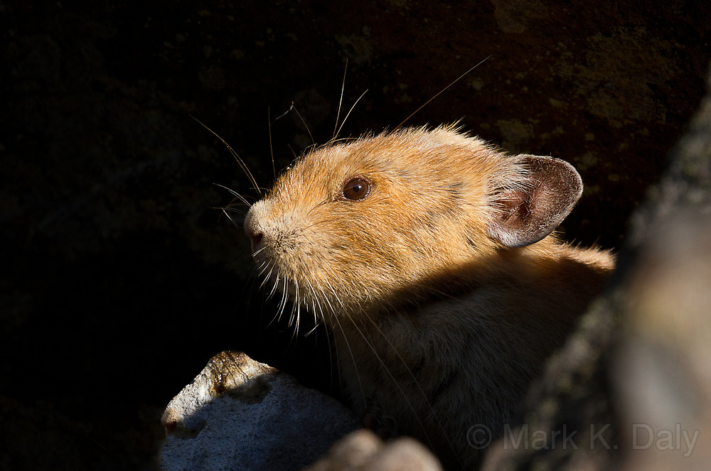 Common Pika