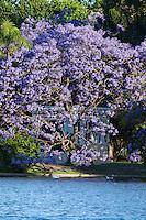 ARBOLES FLORECIDOS DE JACARANDA, ROSEDAL, CIUDAD DE BUENOS AIRES, ARGENTINA (PHOTO © MARCO GUOLI - ALL RIGHTS RESERVED)