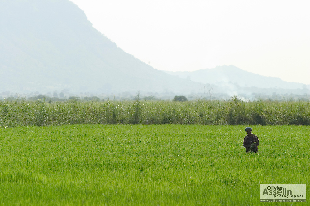 Lone worker in a rice field, Asutsuare, Ghana