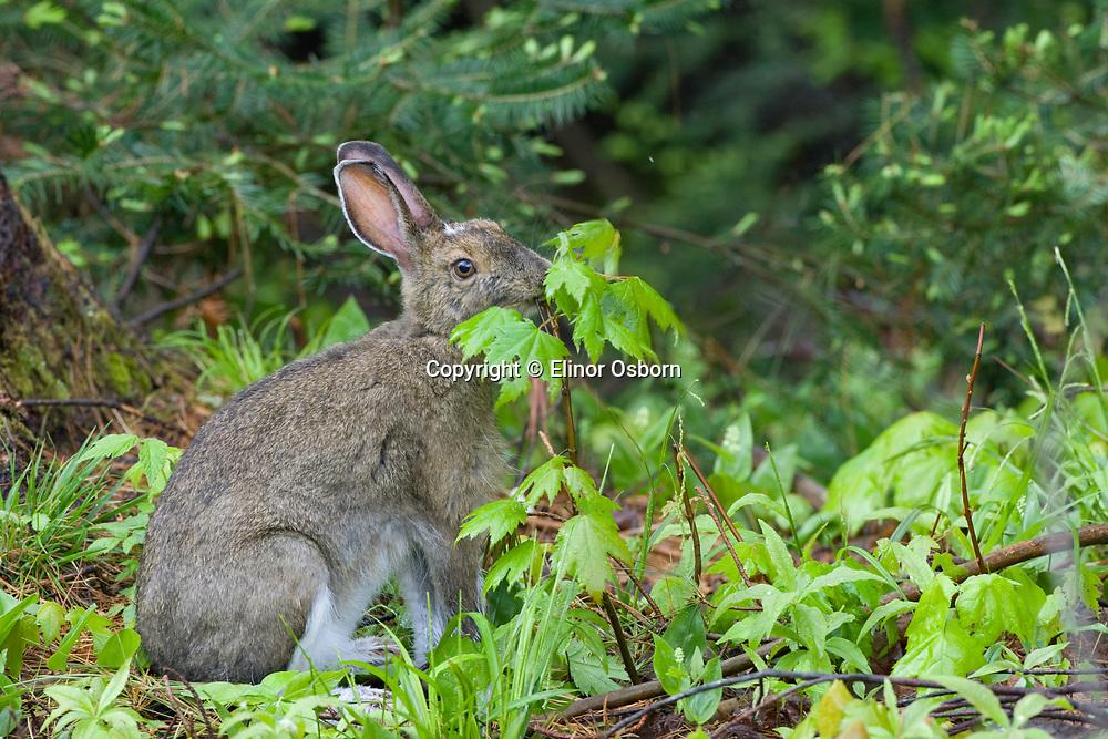 Snowshoe hare eating maple saplings