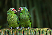 Red-lored Amazon parrots (Amazona autumnalis) CAPTIVE Lowlands of western Ecuador - Cloud forest around Mindo. ECUADOR<br /> These parrots are usually seen in pairs or small groups usually as they fly to and from roosting sites in the early mornings and late evenings. <br /> HABITAT & RANGE: Found in canopy and bordes of deciduous and humid forests and mangroves of lowland forests.