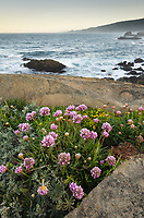 Wildflowers on coastal bluffs,  Sonoma Coast, Salt Point State Park California