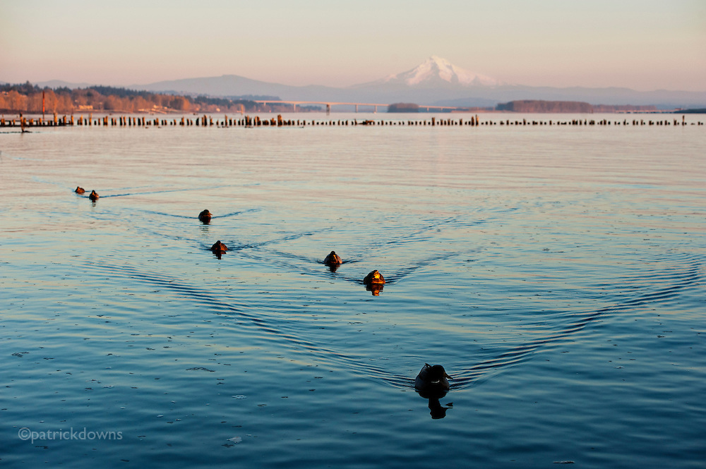 Duck patrol on the Columbia River, Portland. Mt. Hood in background.
