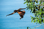 Black-handed Spider Monkey<br /> Ateles geoffroyi<br /> Leaping from tree<br /> Osa Peninsula, Costa Rica