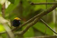 Golden-headed Manakin (Pipra erythrocephala)  male at a canopy perch.<br />