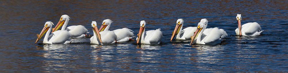 American White Pelican(s) at Walden Ponds in Boulder, Colorado