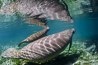 Manatee calves stay with their mothers for nearly two years. They learn everything from her, including the best times to surface for a breath. Being very curious creatures they investigate their environment. This is a peek at an undisturbed, natural behavior while this manatee winters in the freshwater springs. Florida manatee, Trichechus manatus latirostris, a subspecies of the West Indian manatee, endangered. Three Sisters Springs, Crystal River National Wildlife Refuge, Kings Bay, Crystal River, Citrus County, Florida USA. IUCN Red List: Endangered. USFWS implemented downlisting to Threatened 2017: http://www.iucnredlist.org/details/22106/0. Taken under USFWS SUP Permit