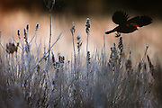 A red-winged blackbird takes flight from frosty wetlands on the Sammamish Plateau.<br />