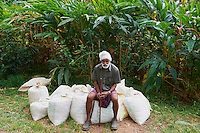 Inde, Etat du Kerala, coeulette de la cardamome a Munnar// India, Kerala state, Munnar, collect of cardamom