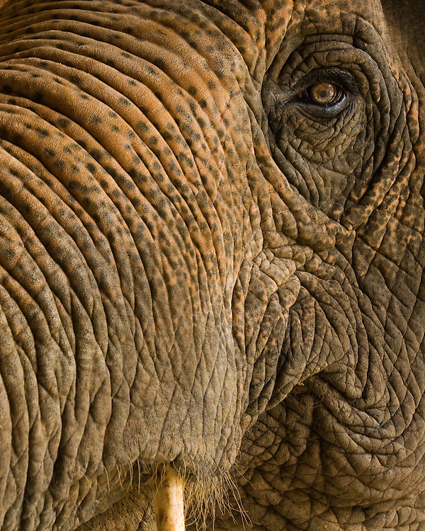 close up of a thailand elephant