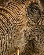 close up of a thailand elephant
