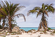 Coconut palms along Love beach in Nassau, Bahamas