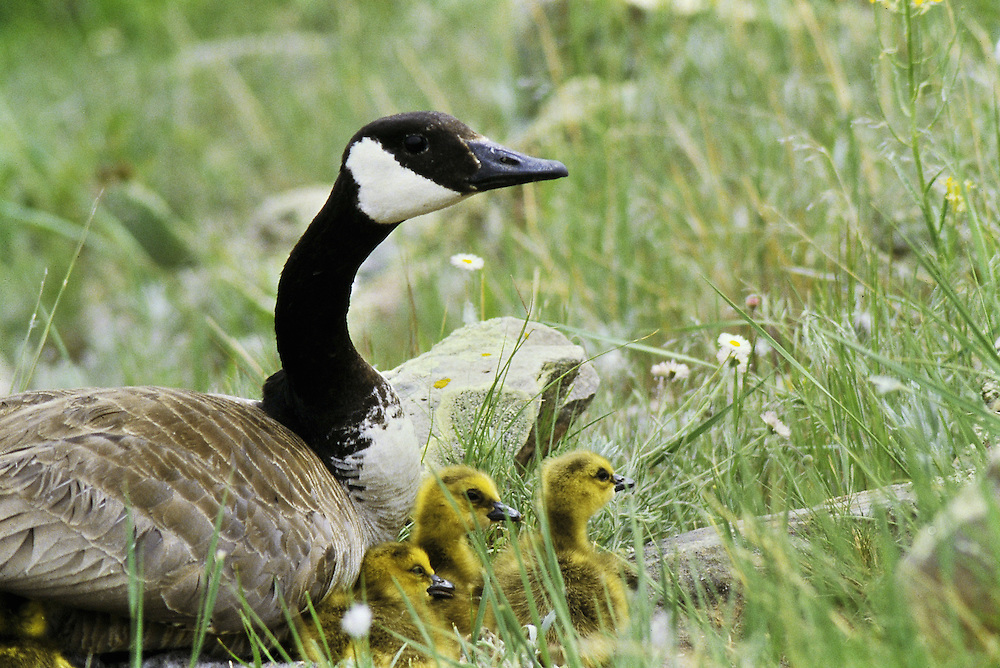 Female with 4 newly hatched goslings on nest. Colorado