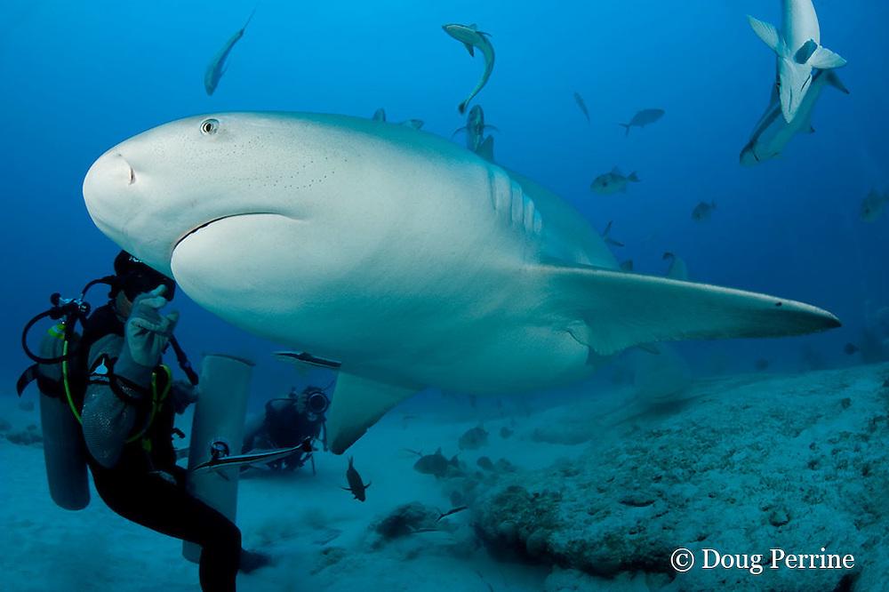 Jorge Loria or Chino of Phantom Divers feeds a bull shark, Carcharhinus leucas, female in seasonal breeding aggregation, Playa del Carmen, Cancun, Quintana Roo, Yucatan Peninsula, Mexico ( Caribbean Sea )
