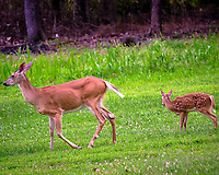 Doe and Fawn. Image taken with a Fuji X-T3 camera and 200 mm f/2 OIS lens with 1.4x teleconverter