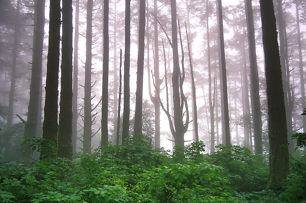 A Redwood grove near Point Reyes shrouded in late summer fog.