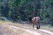Bengal tiger walking the road in Kanha National Park, India.