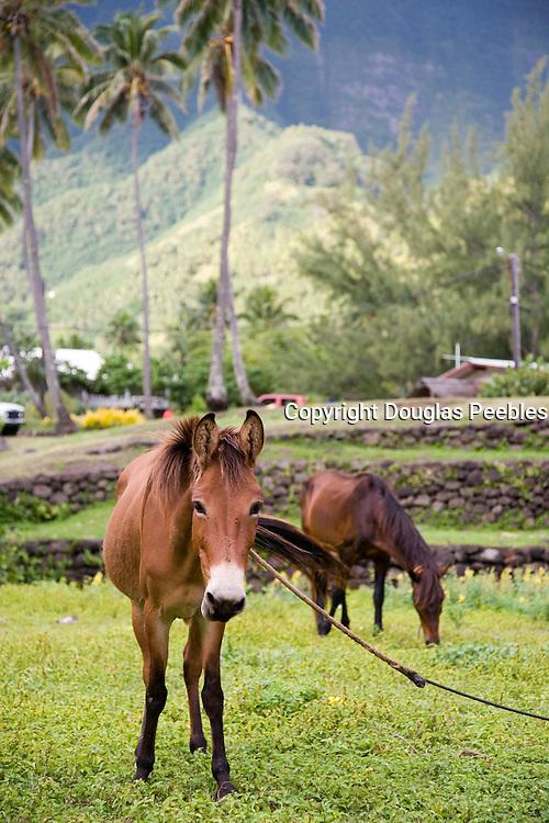 Horse, Hane, Ua Huka, Marquesas Islands, French Polynesia<br />