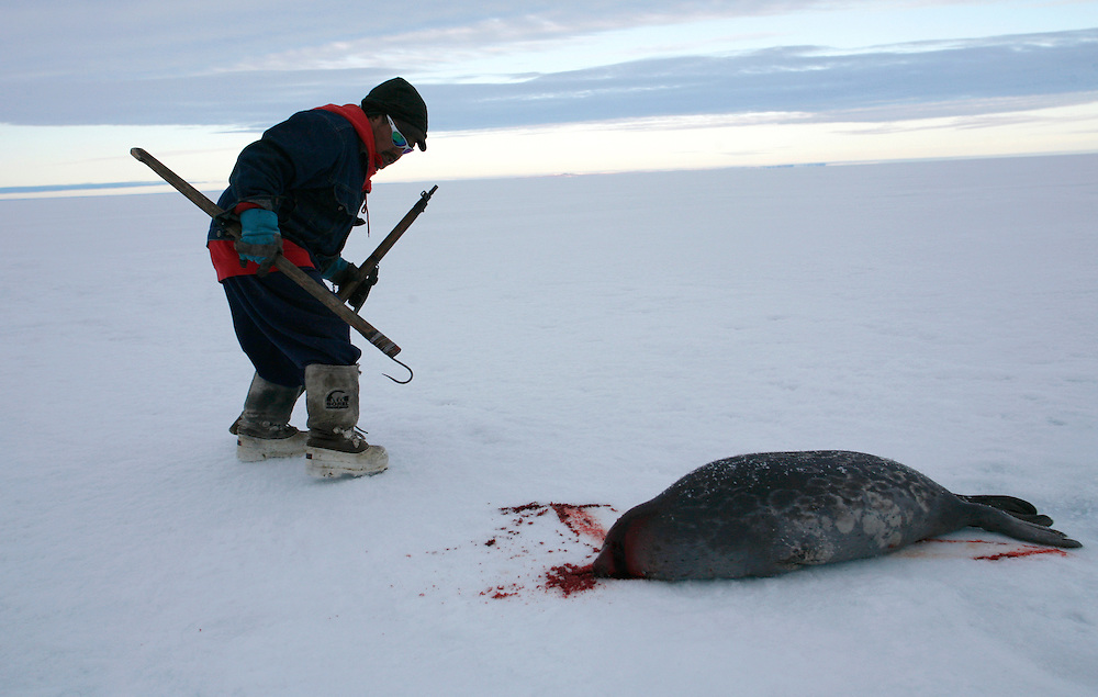 Sasa Samson 37 pulling a seal from his breathing hole after he shot him with his rifle in Resolute Bay. Tuesday June 12 2007....Sasa is the beast hunter of the Inuit town of Resolute bay...His hunts seals for food, every part of the seals is used or for food or for worm cloth...