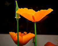 Indoor Hydroponic California Poppy Flower. Image taken with a Fuji X-T3 camera and 80 mm f/2.8 macro lens (ISO 800, 80 mm, f/22, 1/125 sec).