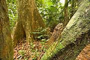 A giant cicada (Pomponia imperatoria) in rainforest. Endau-Rompin National Park, Malaysia.