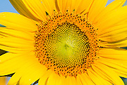 Flowering sunflower in summer morning sun near Ryeford, Queensland, Australia <br />