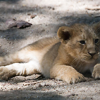 Two month old captive born baby lion is seen in its cage in the City Zoo in Budapest, Hungary on June 13, 2013. ATTILA VOLGYI
