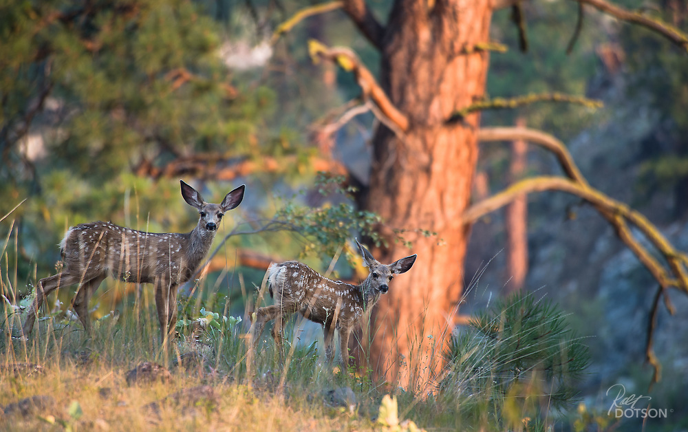 Taking their last glimpse of the two legged stranger with the Nikon, this pair of twin mule deer wasted little time in following their mother to the Salmon River to get a cooling drink.