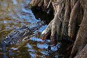 Alligator drifting by mangrove roots, Everglades, Florida, USA