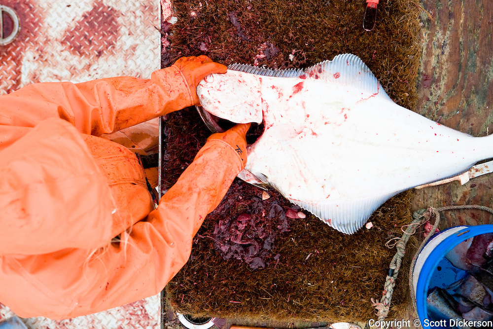 Emma Teal Laukitis, a commercial fisherwoman, gutting a freshly caught pacific halibut while fishing in the Aleutian Islands, Alaska.