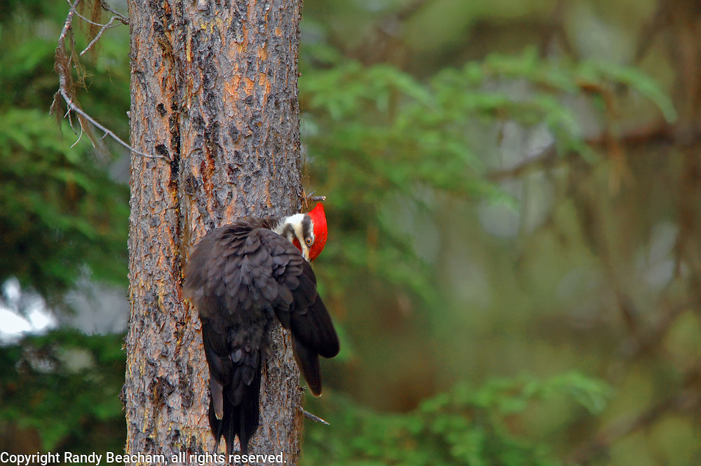 Pileated woodpecker cleaning feather's in conifer forest. Yaak Valley, northwest Montana.