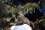 Male Spruce grouse in winter habitat