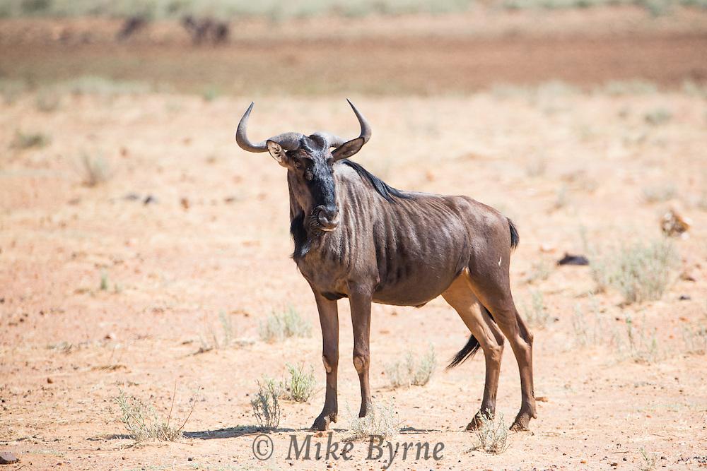 Brindled Gnu or Blue Wildebeest at Erindi, Namibia.