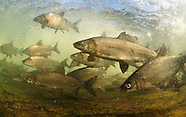 Whitefish Collection