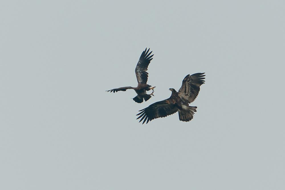 Juvenile Eaglets