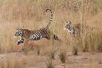 A pair of year-old Bengal tigers  (Panthera tigris tigris) chasing each other in Bandhavgarh National Park, Madhya Pradesh, India.