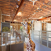 Nacht & Lewis- Giraffe Project Sac Zoo