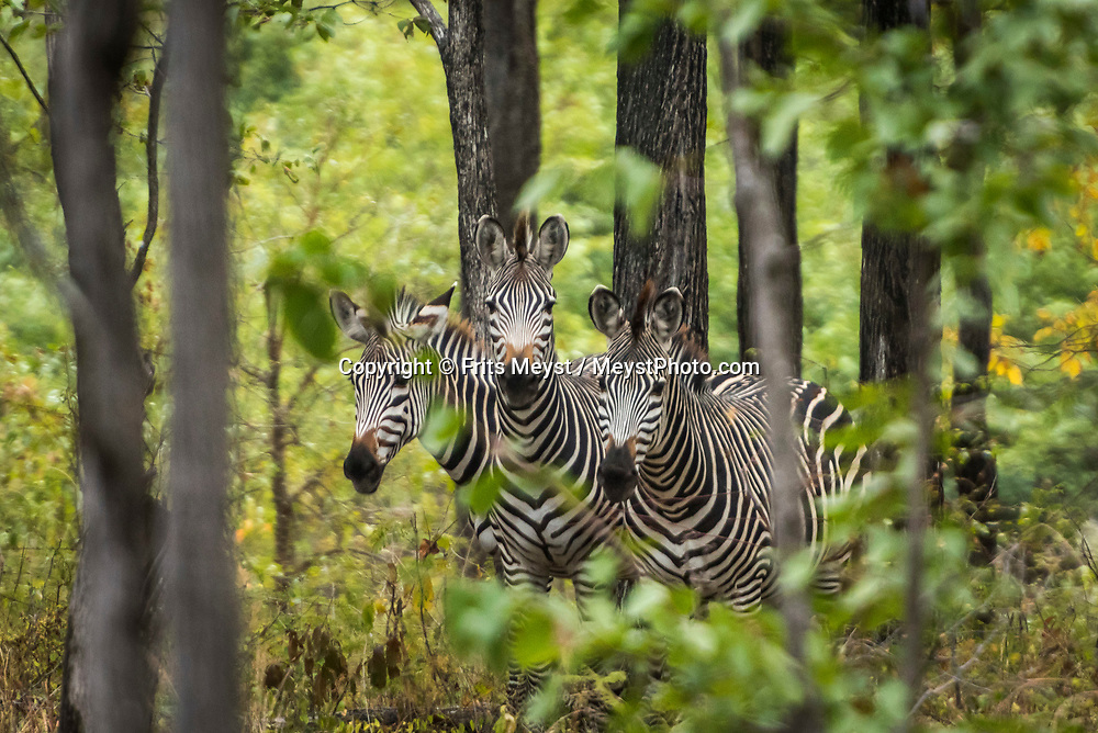 Malawi, July 2017. Zebra hiding in the bush. FRom Mvuu Lodge one can explore Liwonde National Park through game drives and boat safari. Malawi is known for its long rift valley and the third largest lake in Africa: Lake Malawi. Malawi is populated with friendly welcoming people, who gave it the name: the warm heart of Africa. In the south the lake make way for a landscape of valleys surrounded by spectacular mountain ranges. Photo by Frits Meyst / MeystPhoto.com