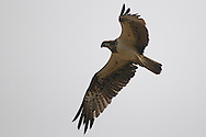 osprey, Pandion haliaetus, balbuzard pêcheur