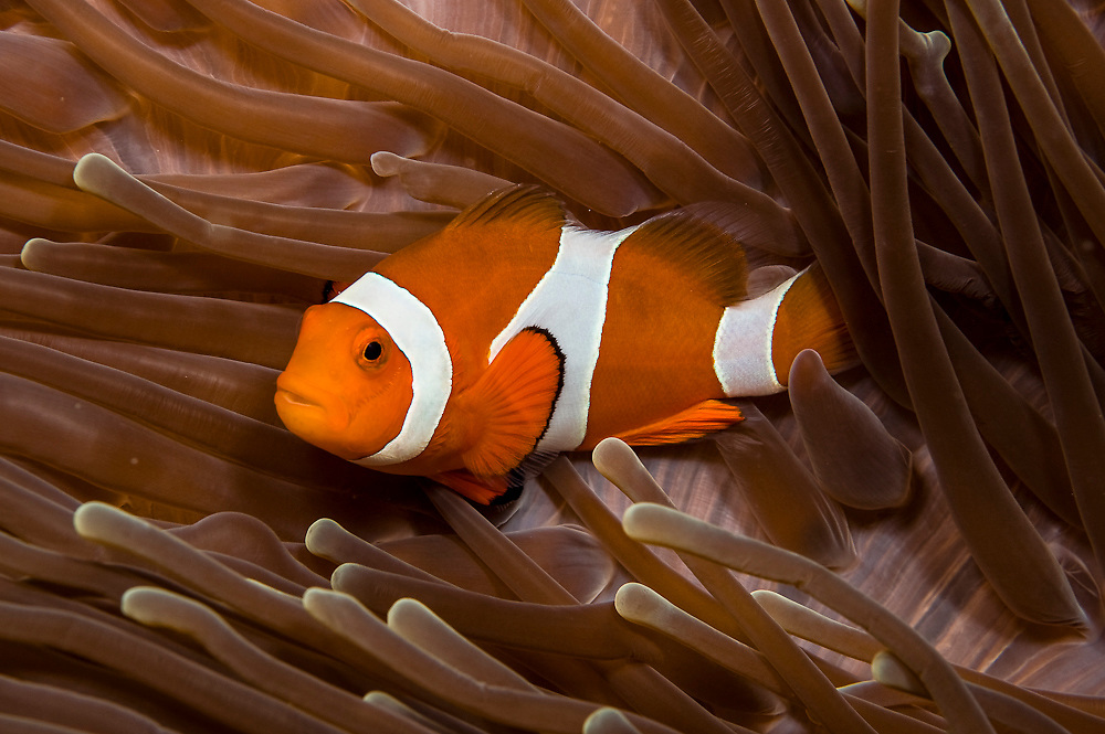 False Clownfish (Amphiprion ocellaris) inside a sea anemone in Komodo National Park, Indonesia. Image available as a premium quality aluminum print ready to hang.