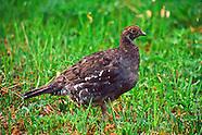 Chickenlike Birds - Grouse, Ptarmigan,