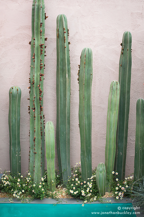 Stenocereus - Cactus<br /> Beneath a Mexican Sky Garden<br /> RHS Chelsea Flower Show 2017<br /> Design: Manoj Malde<br /> Built by: Living Landscapes<br /> Sponsored by: Inland Homes PLC<br /> Photography &copy; Copyright Jonathan Buckley
